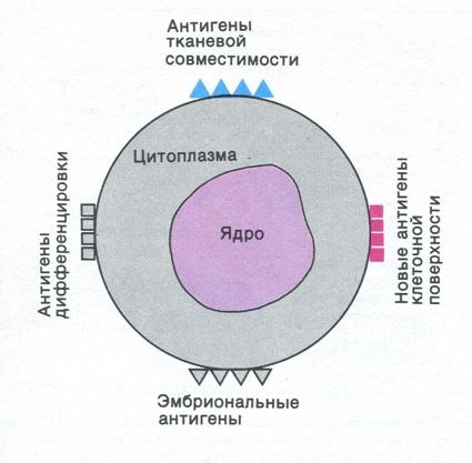 клеточной структуры.